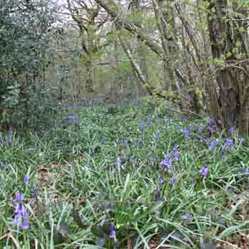 bluebells in Spring in the British woodland