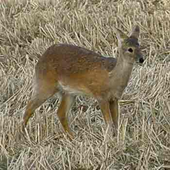 Chinese water deer are small animals with a life span of around six years