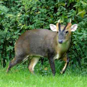 Muntjac deer breed all year round and orginate from China