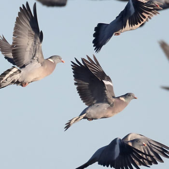 pigeons can be agricultural pests and must be managed carefully