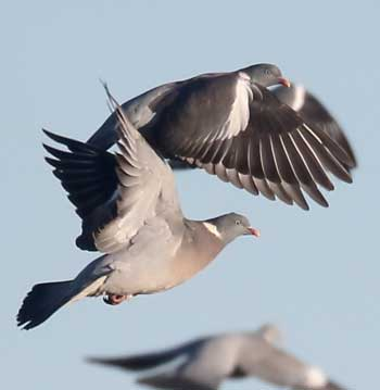 wood pigeons are a valued sporting bird, yet numbers continue to grow despite year round pigeon shooting
