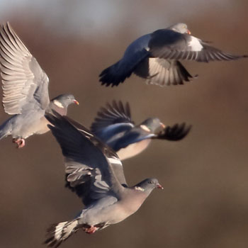 wood pigeons are the UK's largest pigeons