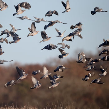 wood pigeons are a wild bird and can be an agricultural pest, shooting controls the numbers