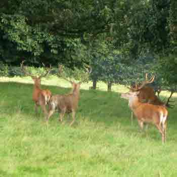 Fallow deer were brought to Britain during Roman times